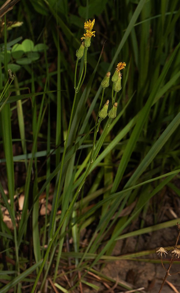 Tolpis capensis