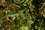 Sonchus oleraceus