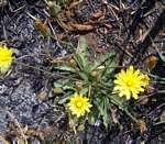 Crepis hypochaeridea