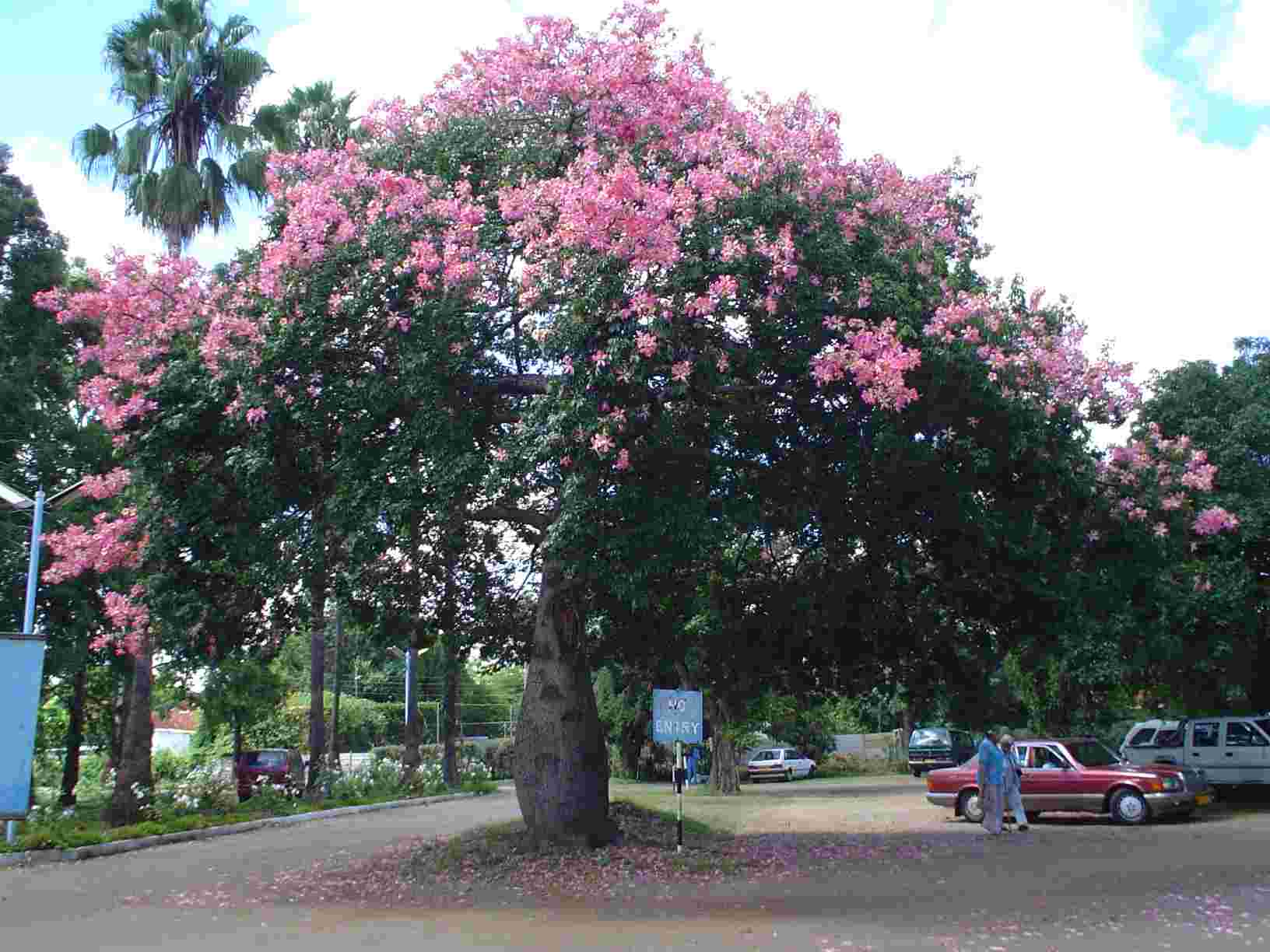 Flora of zimbabwe cultivated species information inidual images