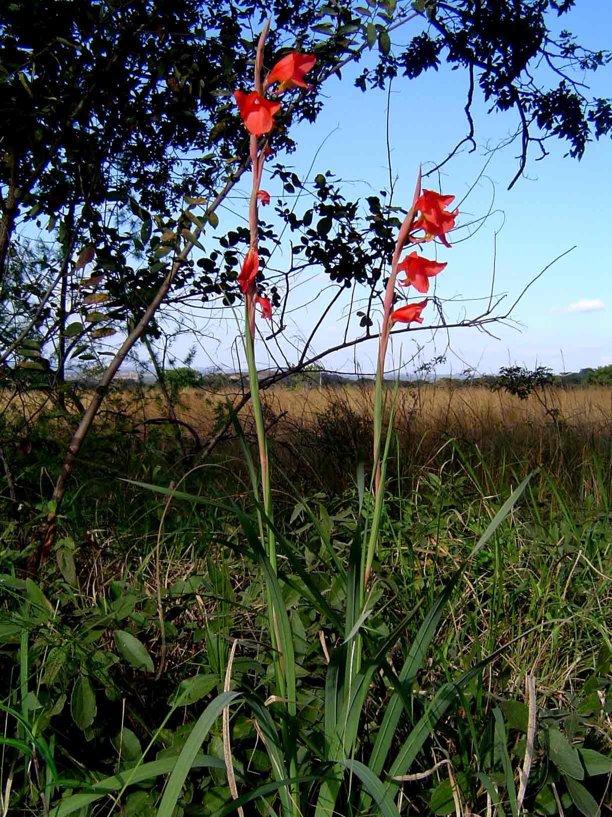 Gladiolus dalenii subsp. dalenii (red form)
