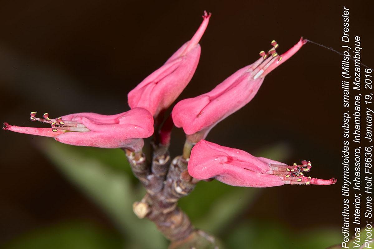 Pedilanthus tithymaloides subsp. smallii
