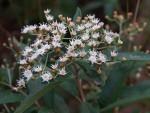 Vernonanthura phosphorica