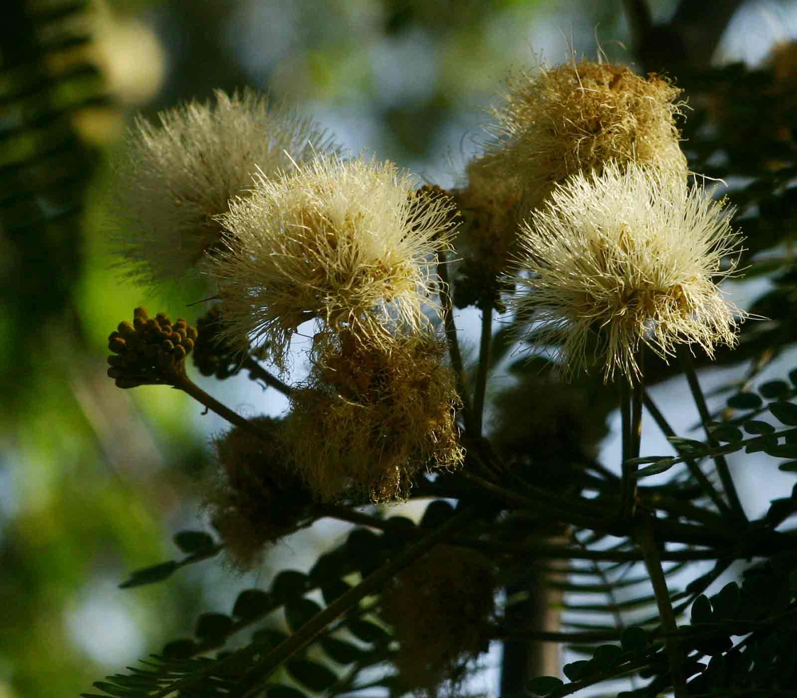 Albizia schimperiana var. schimperiana