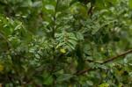Bridelia cathartica subsp. melanthesoides