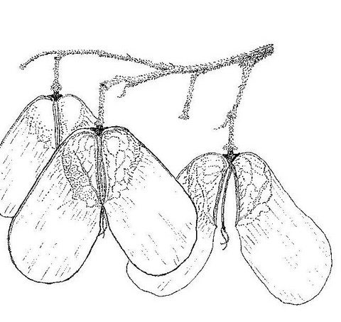 Hymenocardia acida