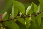Canthium glaucum subsp. frangula