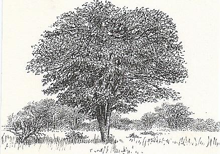 Pseudolachnostylis maprouneifolia
