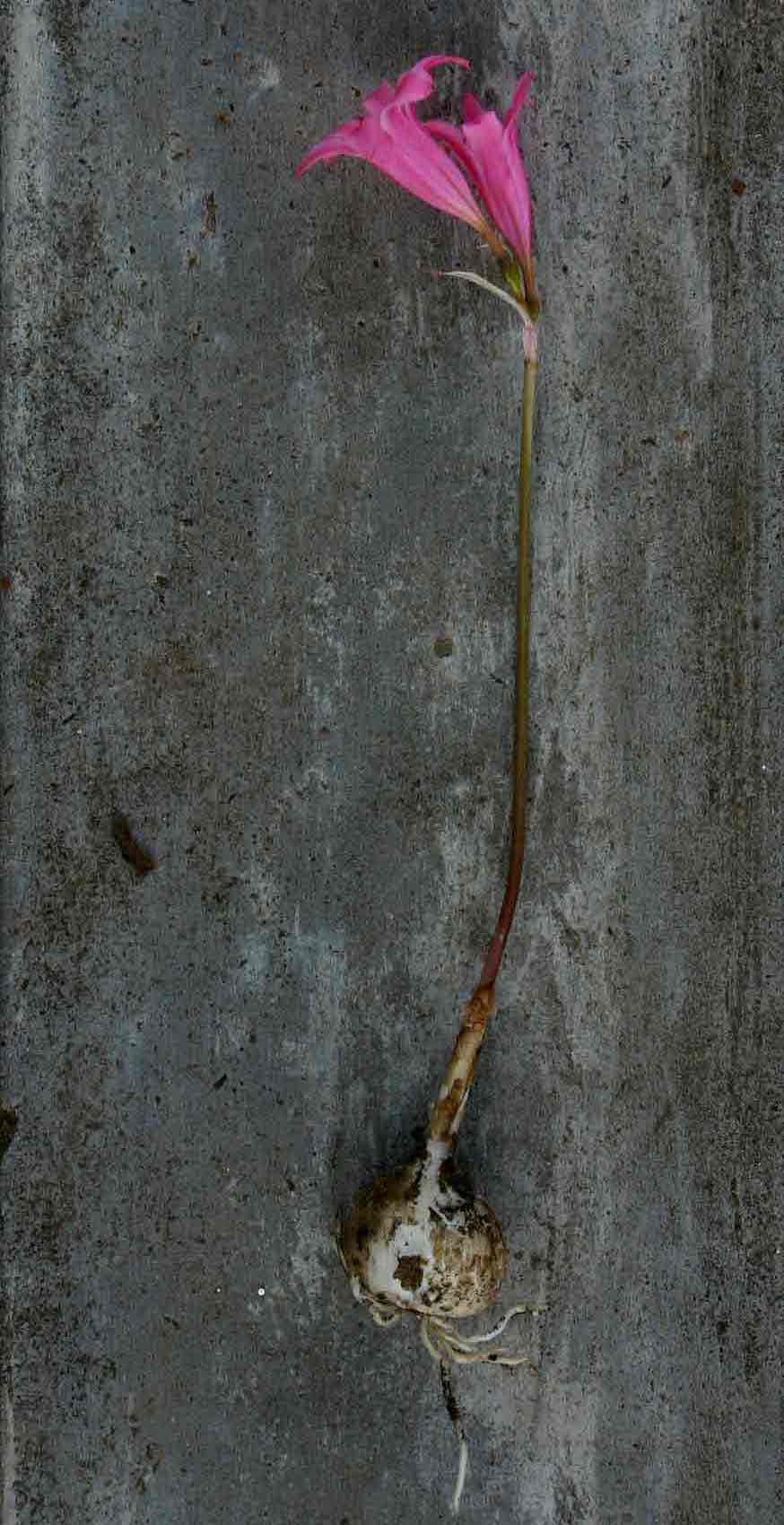 Cyrtanthus galpinii