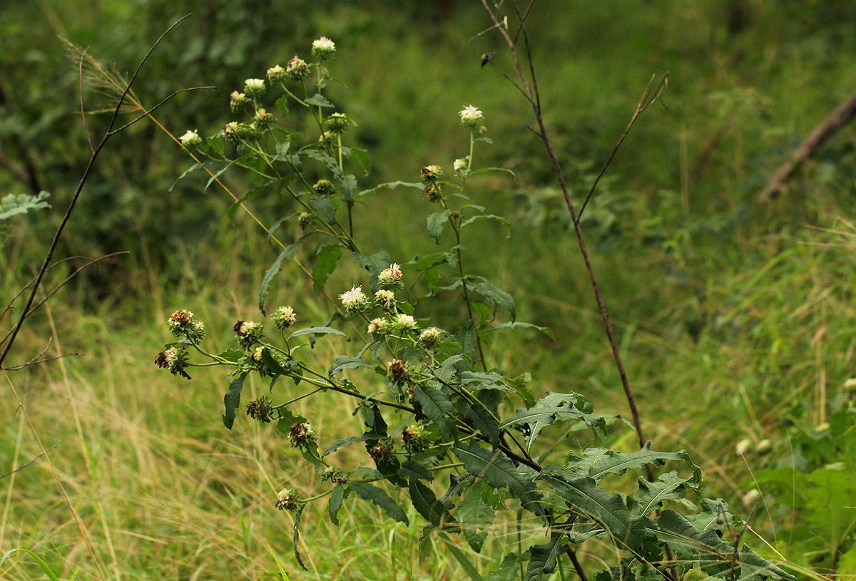 Vernonia adoensis