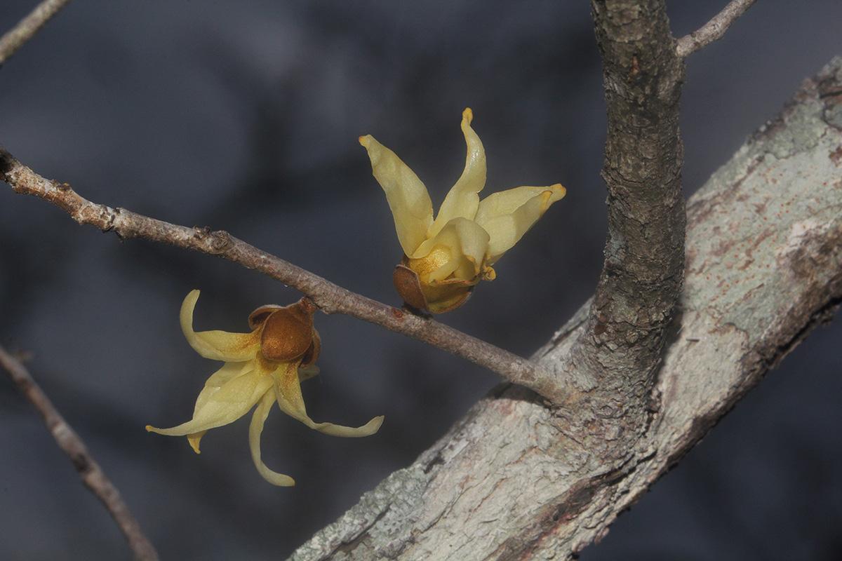 Hexalobus monopetalus