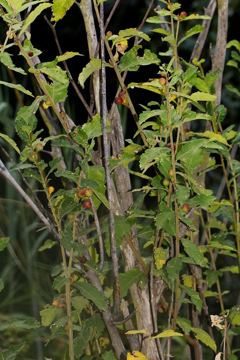 Ficus pygmaea