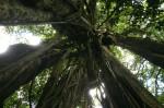 Ficus rokko