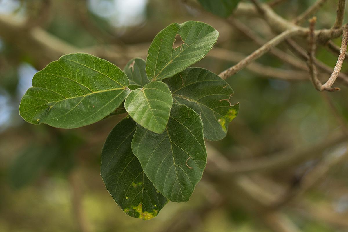 Ficus sycomorus subsp. sycomorus