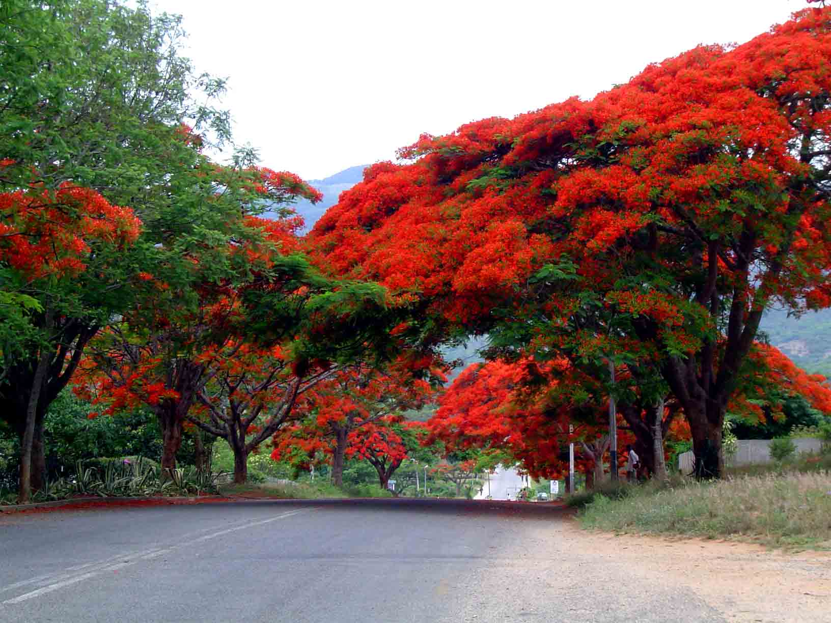 flora of zimbabwe cultivated species information individual images delonix regia. Black Bedroom Furniture Sets. Home Design Ideas