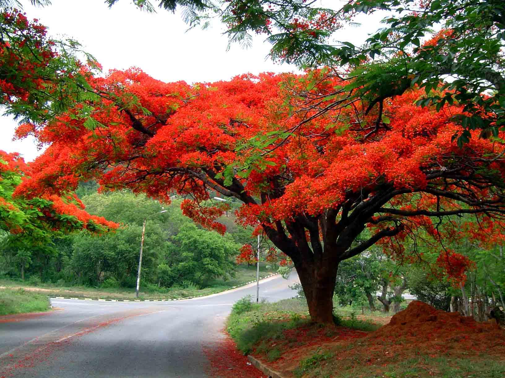 Flora of zimbabwe cultivated species information for Arboles de jardin que den sombra
