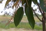 Croton megalocarpus