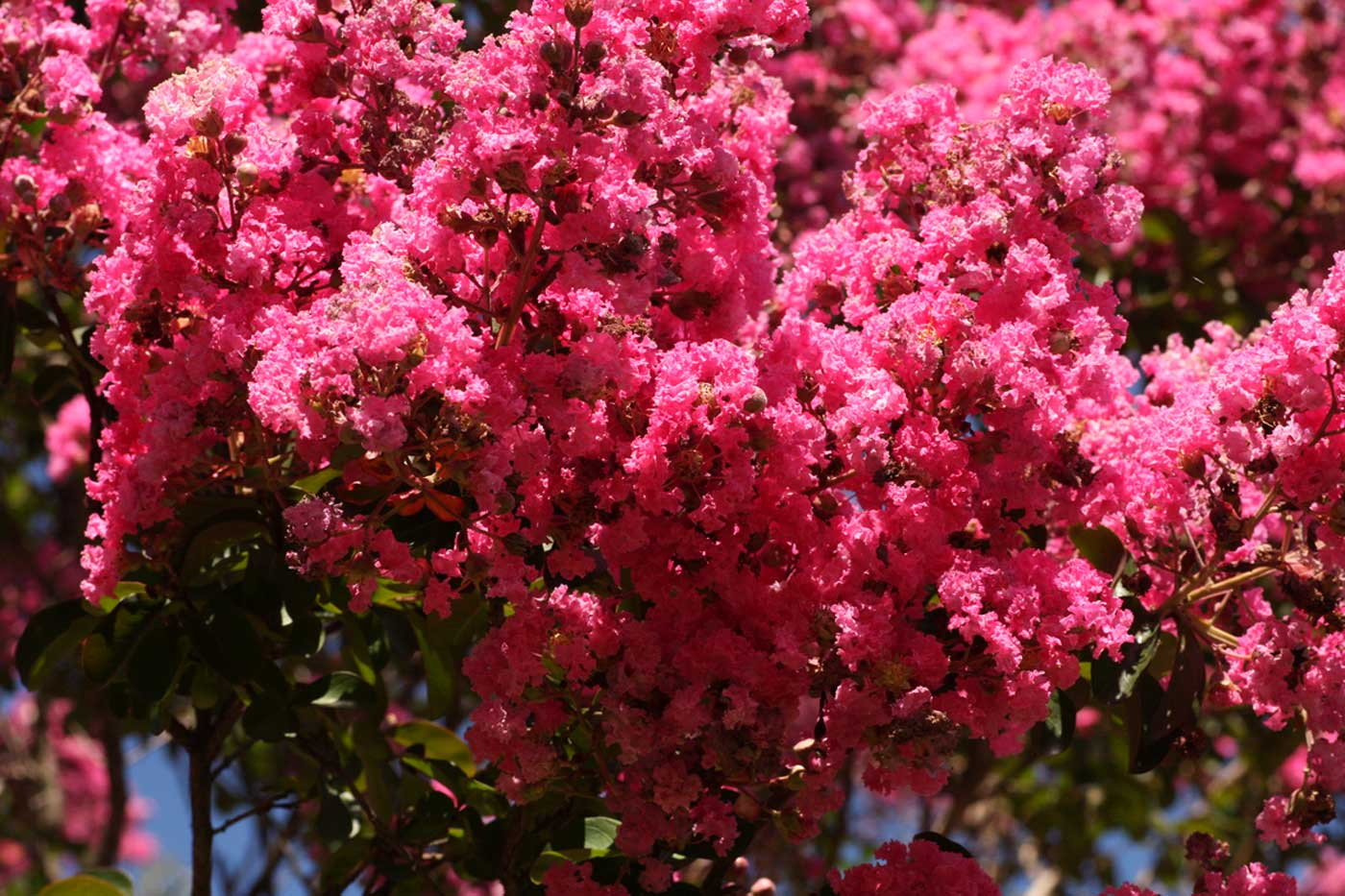 flora of zimbabwe cultivated species information individual images lagerstroemia indica. Black Bedroom Furniture Sets. Home Design Ideas