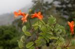 Tecomaria capensis subsp. nyassae