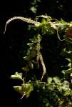 Anredera cordifolia