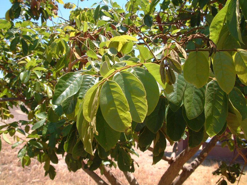 Lonchocarpus sericeus