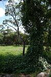 Stictocardia beraviensis