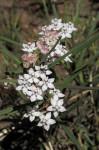 Asclepias cucullata subsp. scabrifolia