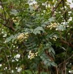 Harrisonia abyssinica
