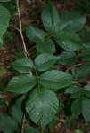 Millettia mossambicensis