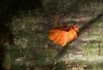 Bombax rhodognaphalon