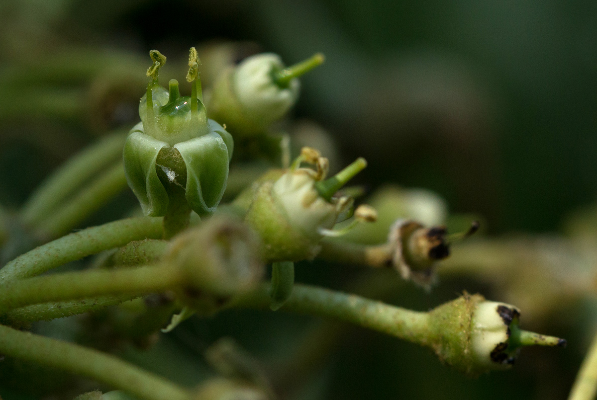 Cissus cucumerifolia
