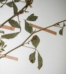 Cyamopsis tetragonoloba