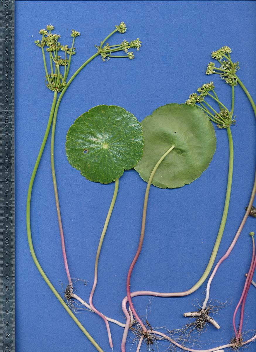 Hydrocotyle bonariensis