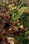 Pachycarpus chirindensis