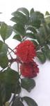 Pseudobersama mossambicensis