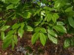 Berlinia orientalis