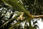Pandanus utilis