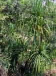 Pandanus livingstonianus