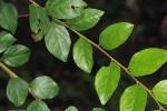 Diospyros verrucosa