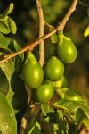Diospyros inhacaensis