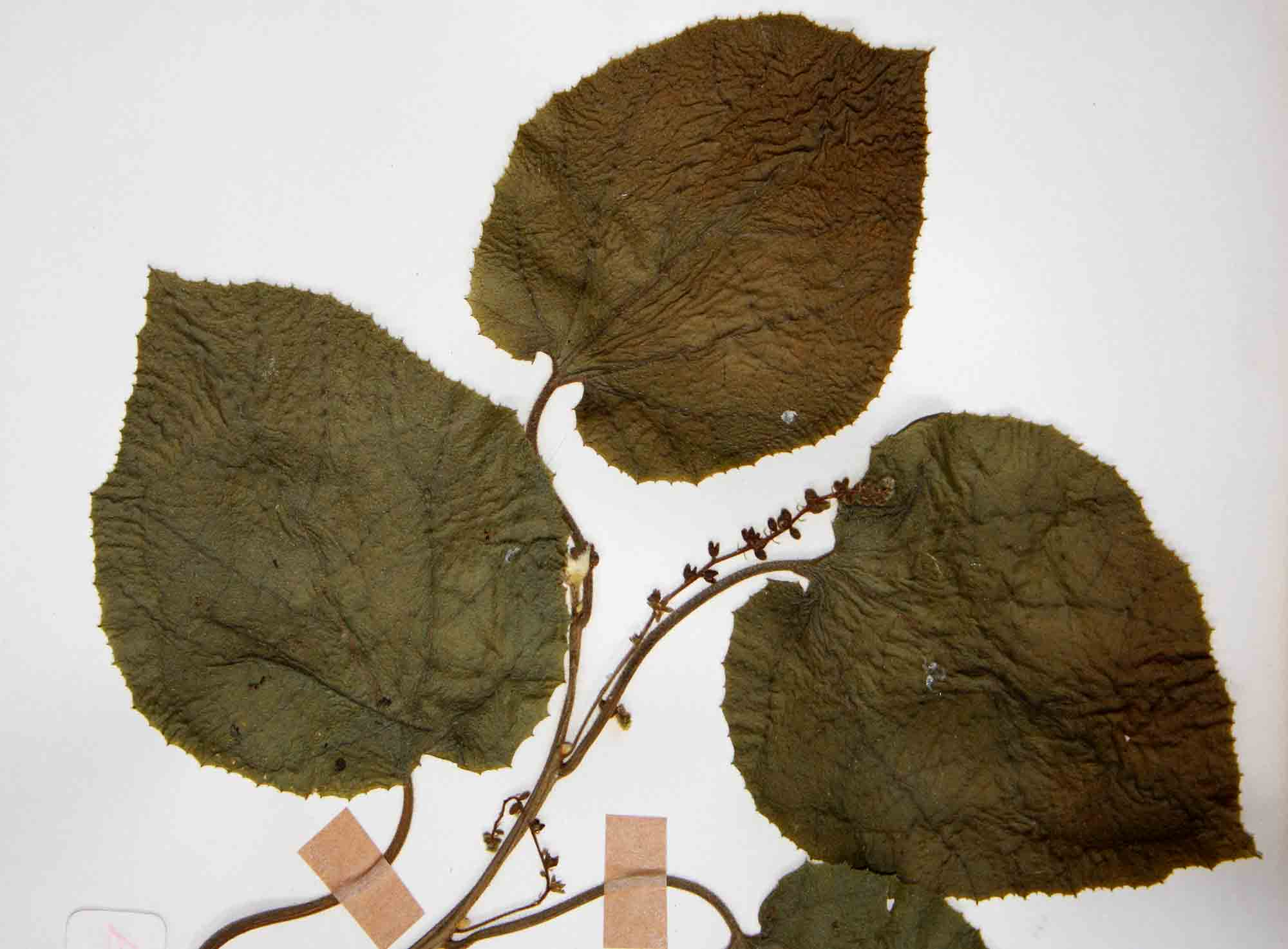 Pyrenacantha grandiflora