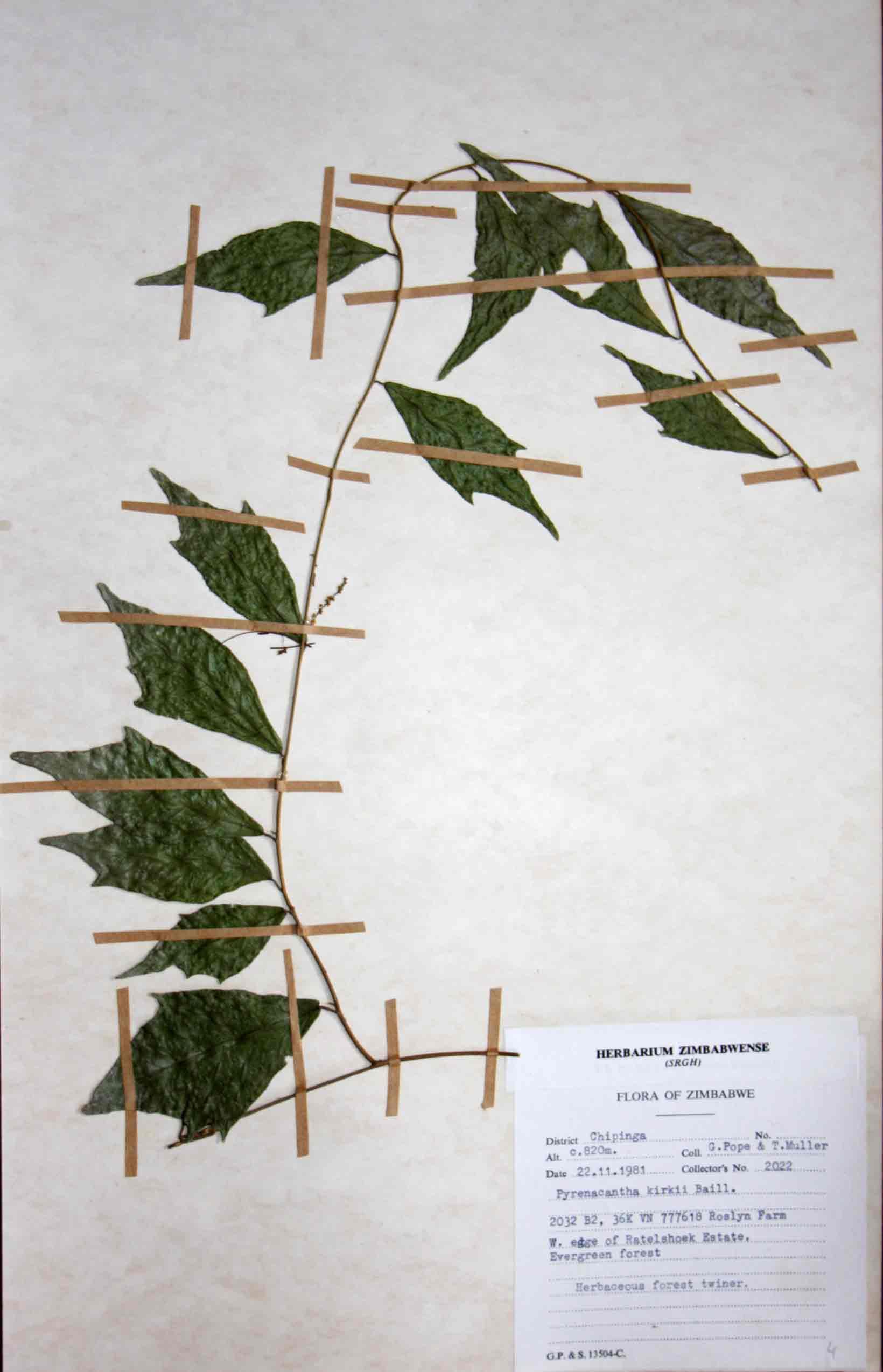 Pyrenacantha kirkii