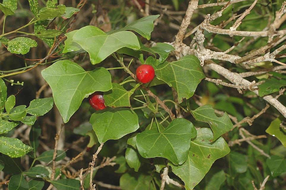 Thespesia acutiloba