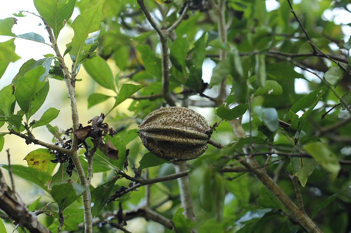 Gardenia volkensii subsp. volkensii var. volkensii