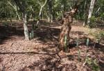 Cereus jamacaru
