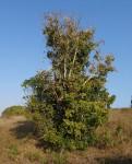 Dolichandrone alba