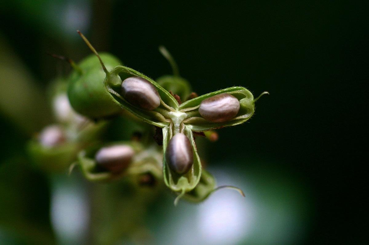 Rinorea angustifolia subsp. ardisiiflora