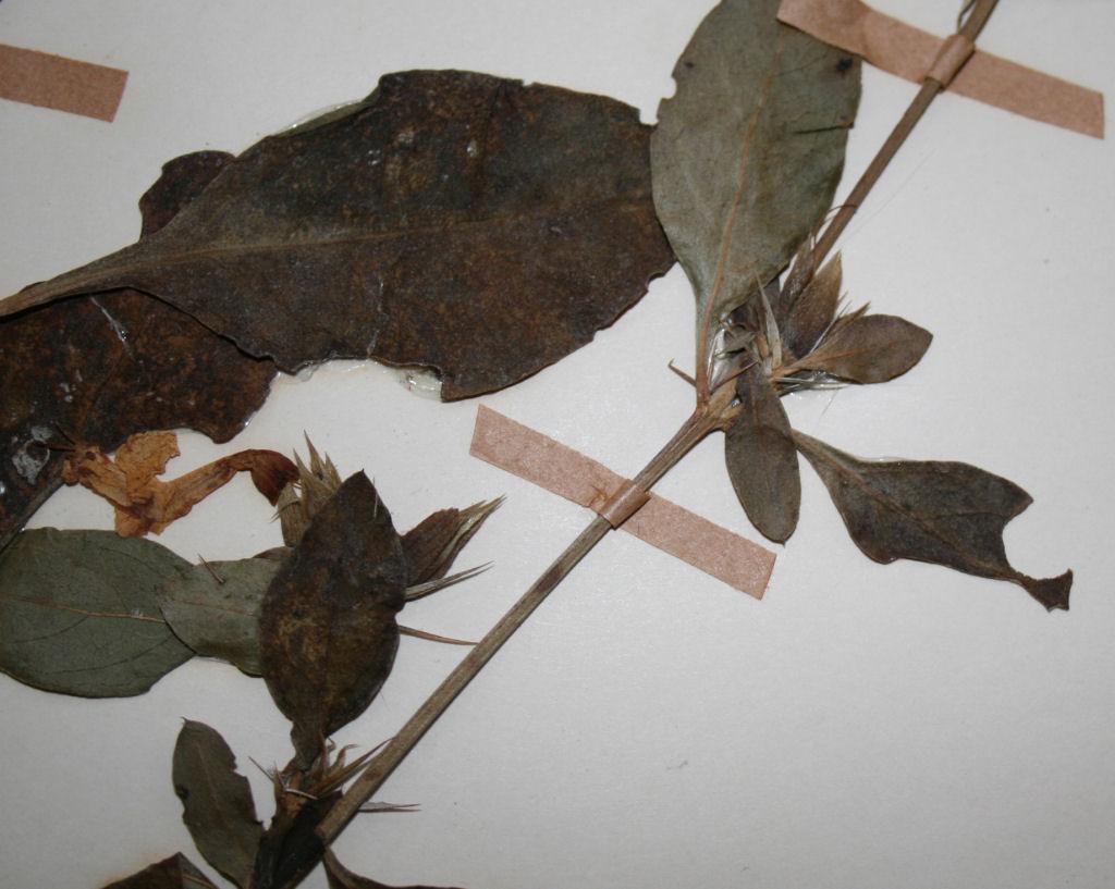 Barleria delagoensis