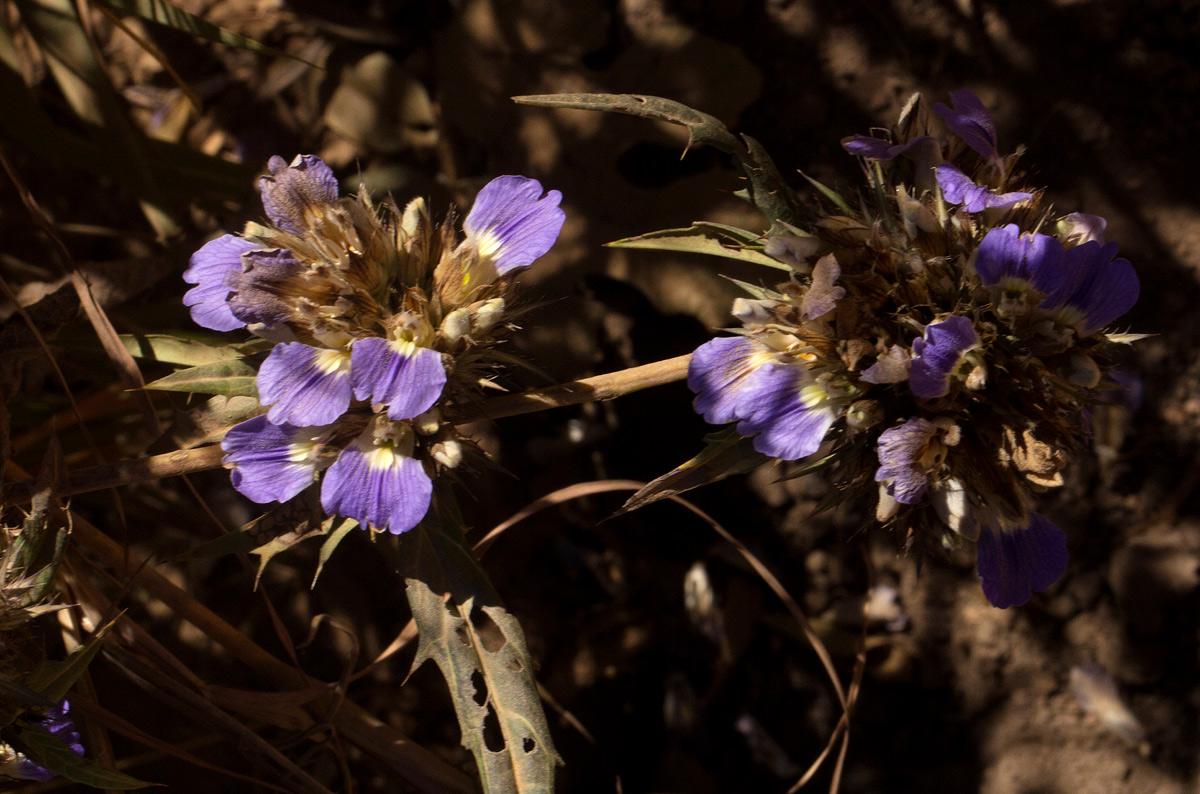 Blepharis grandis