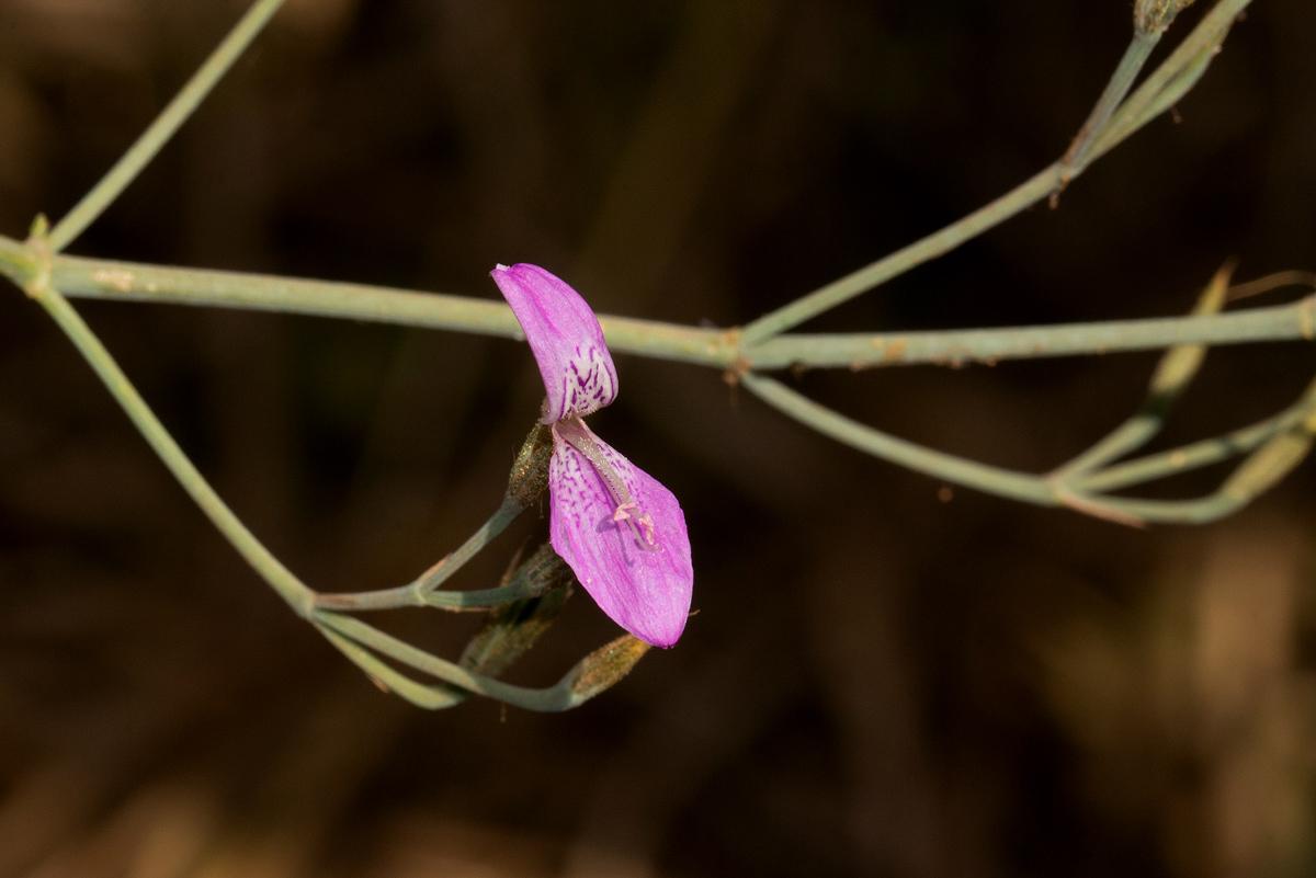 Dicliptera aculeata